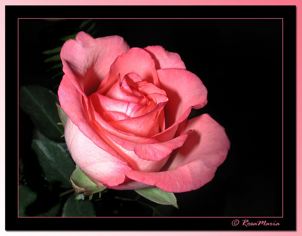 "photo ""Rose Etude"" tags: macro and close-up, nature, flowers"