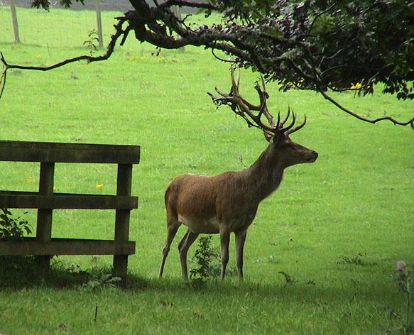 """фото """"The deer"""" метки: природа, дикие животные"""