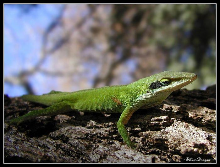 "photo ""Anole"" tags: nature, macro and close-up, wild animals"