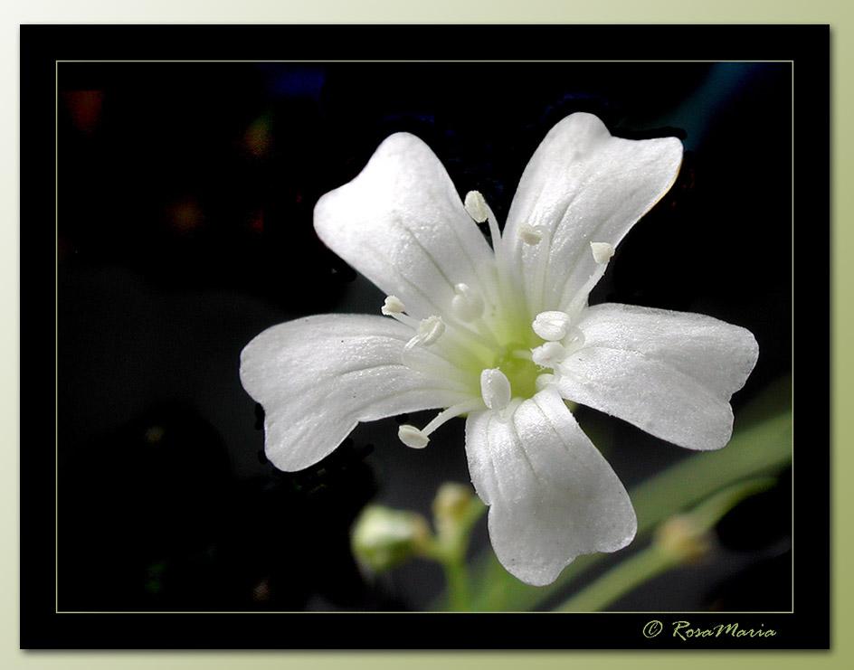 """фото """"Silver Rain"""" метки: макро и крупный план, природа, цветы"""