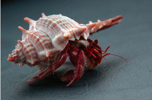 """фото """"Рак отшельник"""" метки: природа, дикие животные"""