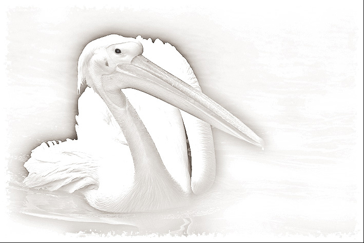 "photo ""And the Pelican happens graceful....."" tags: nature, wild animals"
