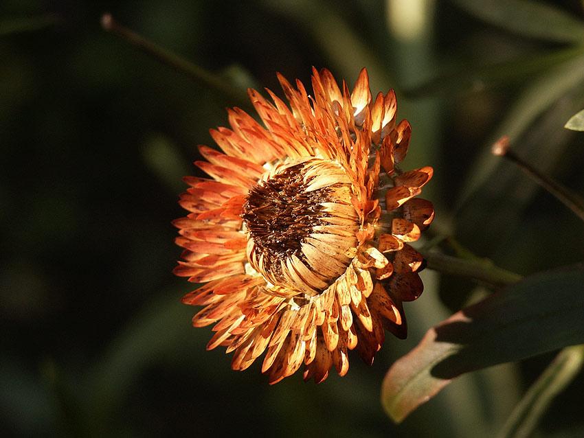 "photo ""bessmertnik #6"" tags: nature, flowers"