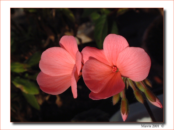 "photo ""Salmon Pelargonium"" tags: nature, macro and close-up, flowers"