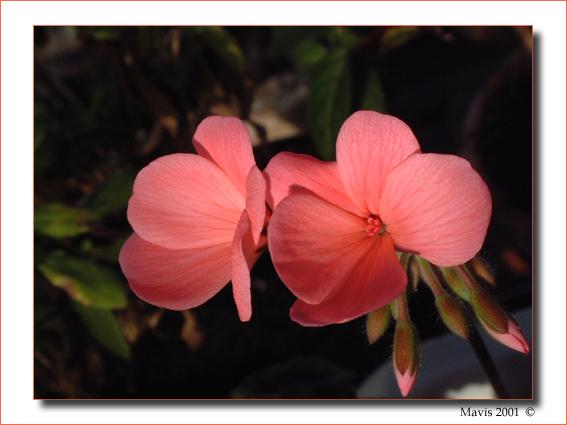 """фото """"Salmon Pelargonium"""" метки: природа, макро и крупный план, цветы"""