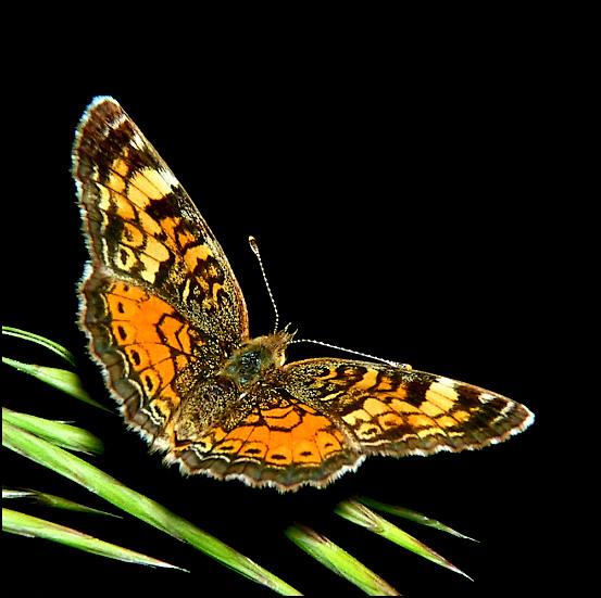 """фото """"Butterfly on Black"""" метки: природа, макро и крупный план, насекомое"""