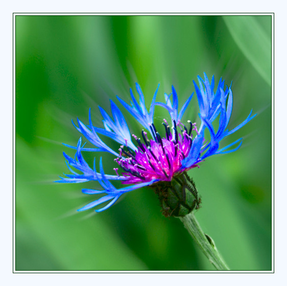"photo ""Simply ... the Cornflower"" tags: macro and close-up, nature, flowers"