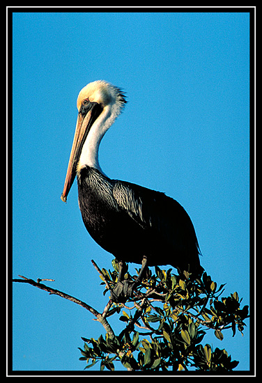 "photo ""Brown Pelican"" tags: nature, wild animals"
