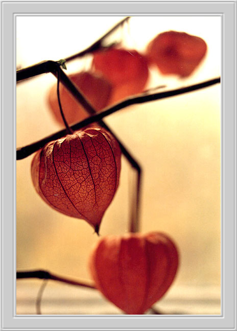"photo ""Physalis"" tags: nature, macro and close-up, flowers"