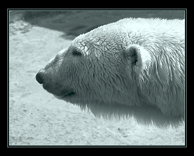 """фото """"Тоска...да и тюлени, черт бы их побрал, куда-то по"""" метки: природа, путешествия, дикие животные"""