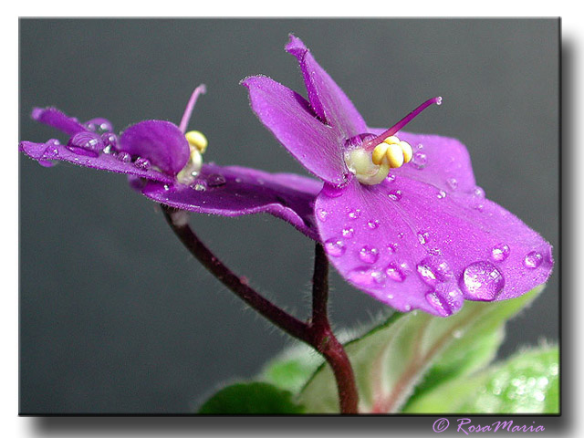 "photo ""Violet Enterprise"" tags: macro and close-up, nature, flowers"