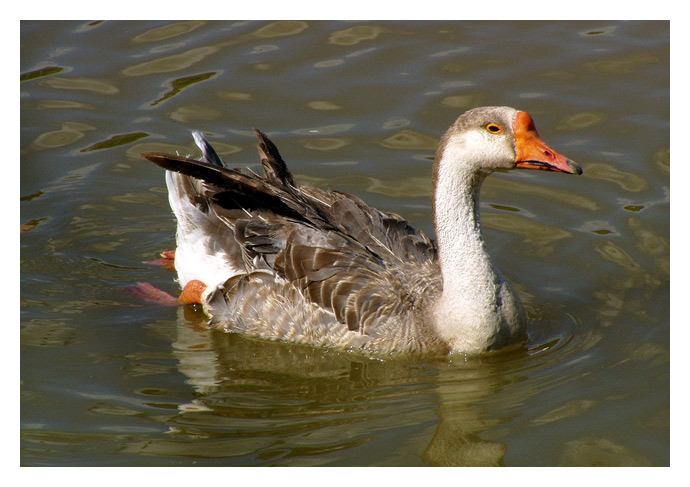 "photo ""the duck"" tags: nature, pets/farm animals"