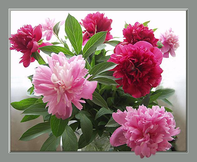 """фото """"Пионы..."""" метки: натюрморт, природа, цветы"""