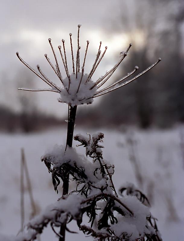 """фото """"Цветок зимы"""" метки: пейзаж, природа, зима, цветы"""