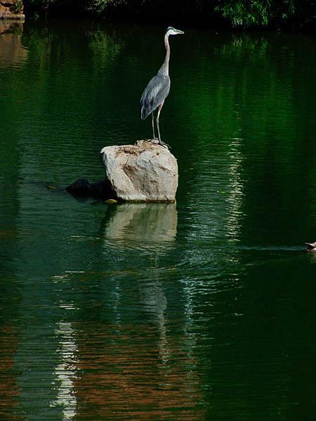 "фото ""Great Blue Heron"" метки: природа, дикие животные"