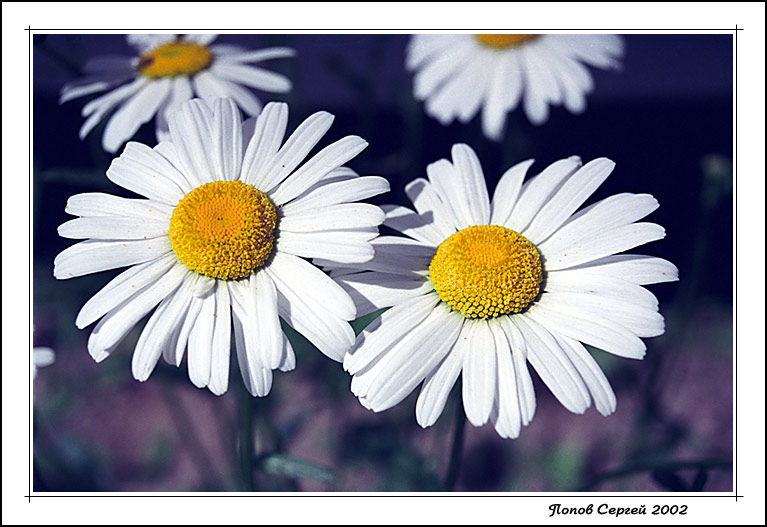"фото ""Ромашки"" метки: природа, цветы"