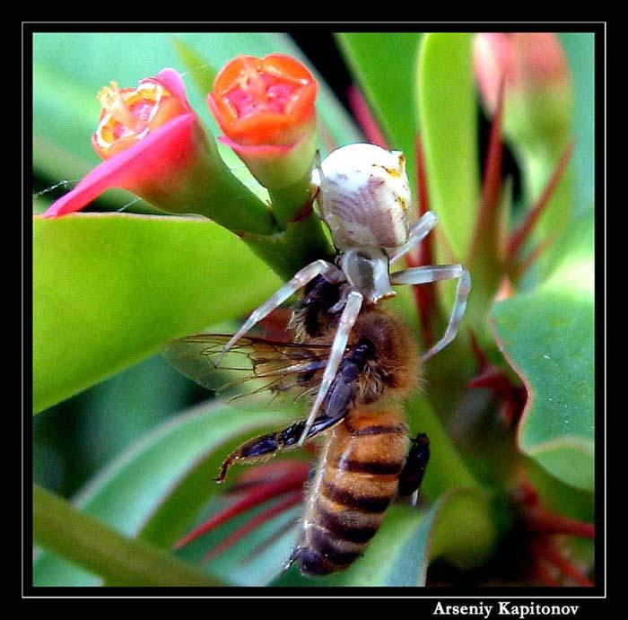 """фото """"Отлеталась пчелка"""" метки: макро и крупный план, природа, насекомое"""