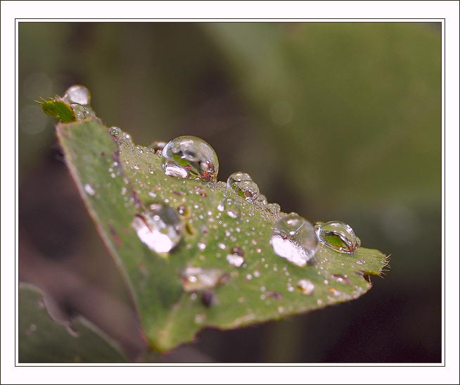 "photo ""Simply... Dewdrops"" tags: nature, macro and close-up, flowers"
