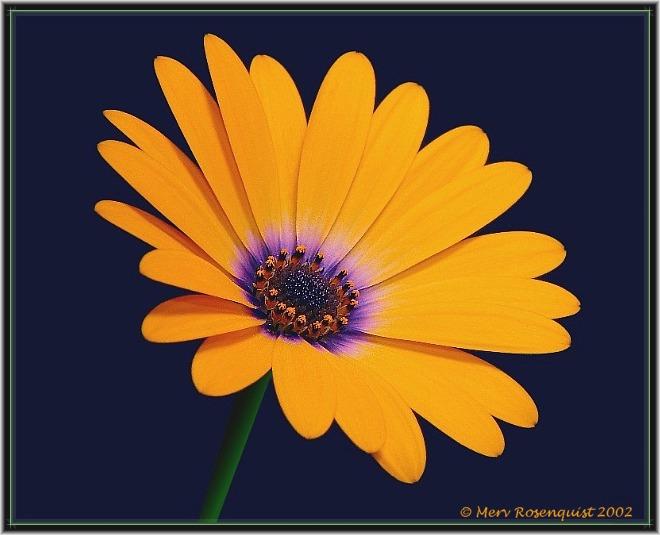 """фото """"Orange Symphony"""" метки: макро и крупный план, природа, цветы"""