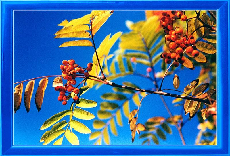 "фото ""Рябина красная"" метки: природа, цветы"