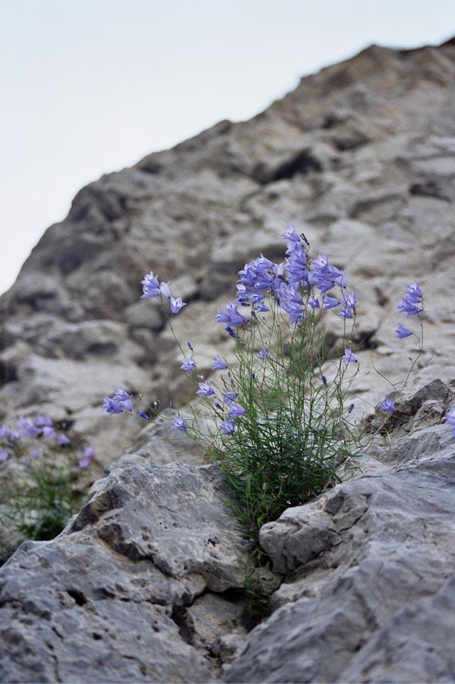 """фото """"Колокольчики мои..."""" метки: природа, цветы"""