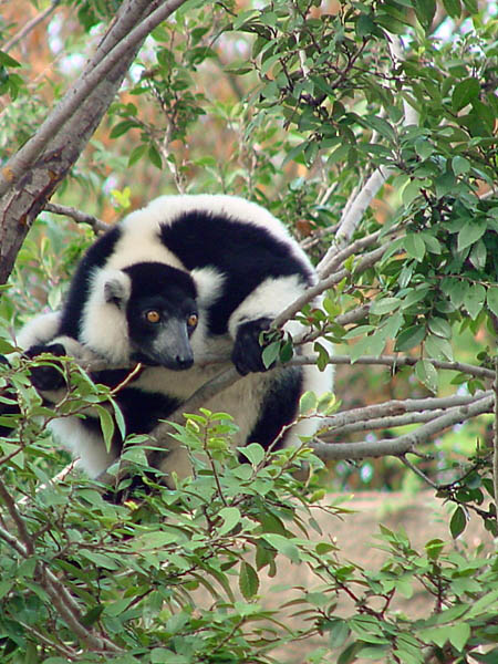 "photo ""Black and White Ruffed Lemur"" tags: nature, wild animals"