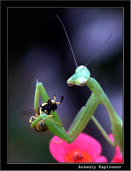 "photo ""Eating mantis"" tags: macro and close-up, nature, insect"