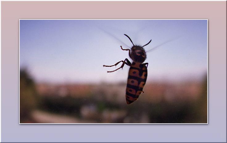 """фото """"Полёт осы"""" метки: макро и крупный план, природа, насекомое"""