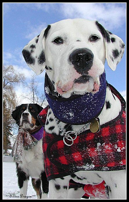 "photo ""Snow Dogs"" tags: nature, humor, pets/farm animals"