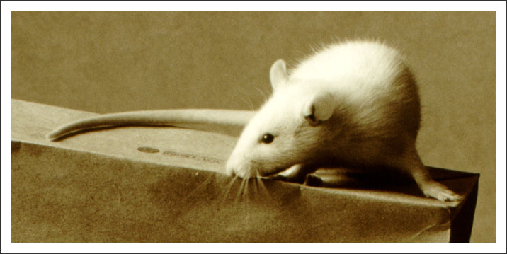 "photo ""Rat named ""Knopa"""" tags: nature, portrait, pets/farm animals"