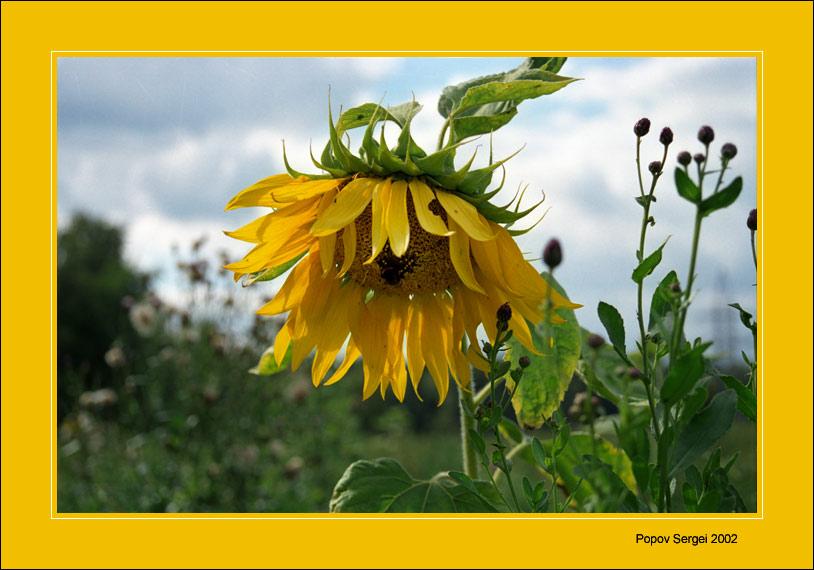 """фото """"Подсолнух"""" метки: природа, цветы"""
