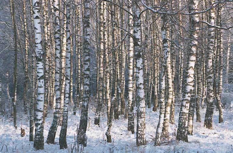 """photo """"Russian birches"""" tags: landscape, winter"""