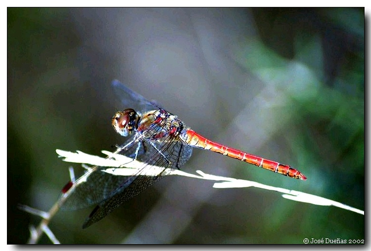 "photo ""Dragonfly"" tags: nature, insect"
