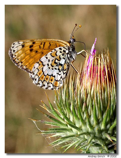 """фото """"Дегустация"""" метки: природа, макро и крупный план, насекомое"""
