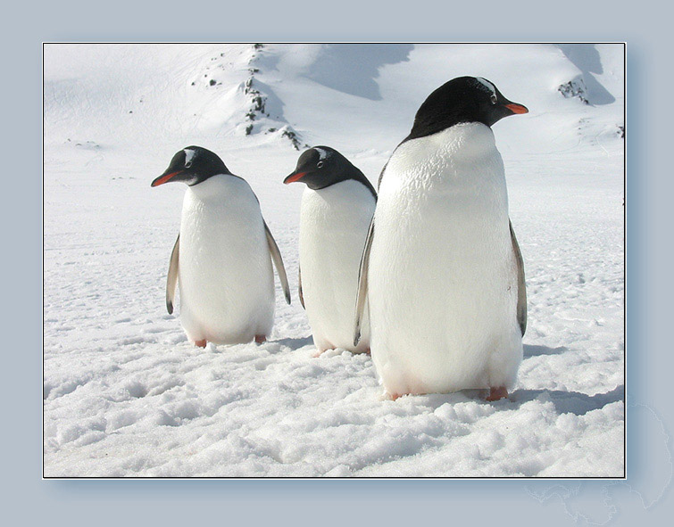 """photo """"Penguin's family"""" tags: nature, landscape, summer, wild animals"""