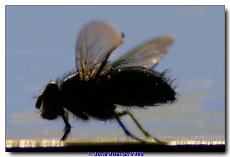 "photo ""Big Fly"" tags: macro and close-up, nature, insect"