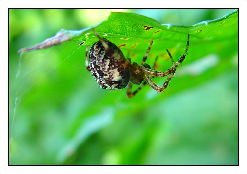 "photo ""Spiderman"" tags: nature, macro and close-up, insect"