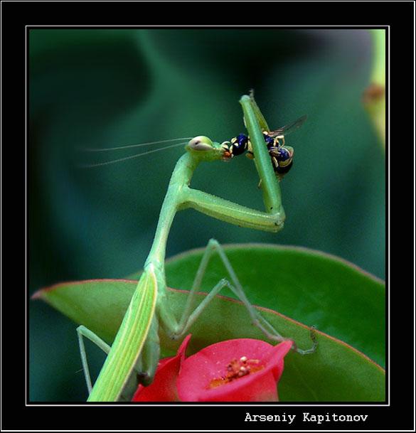 """фото """"Удачкая охота"""" метки: макро и крупный план, природа, насекомое"""