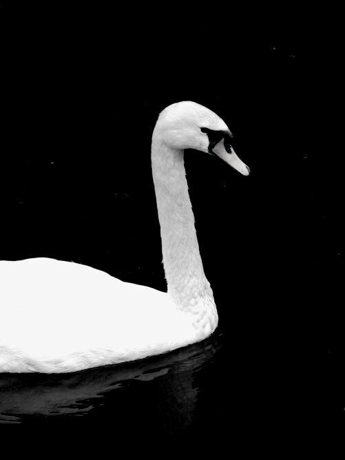 """фото """"лебедь"""" метки: пейзаж,"""