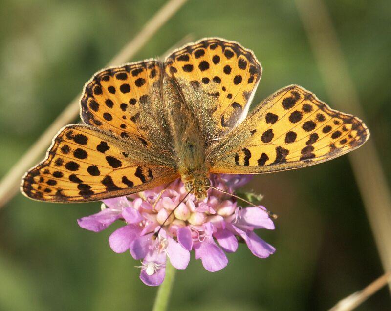 "фото ""Бабочка"" метки: природа, насекомое"