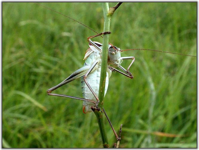 """фото """"Подглядывающий"""" метки: природа, макро и крупный план, насекомое"""