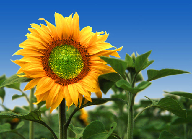 "photo ""Sunflower"" tags: misc.,"