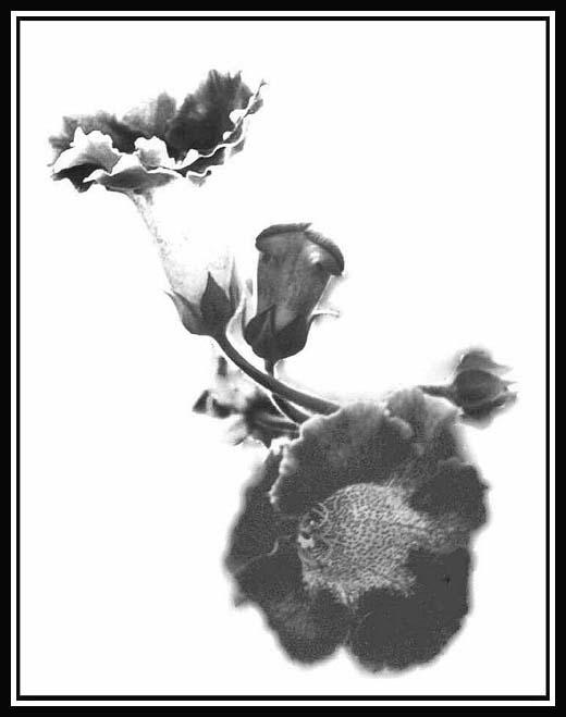 "photo ""Gloxinia"" tags: nature, flowers"