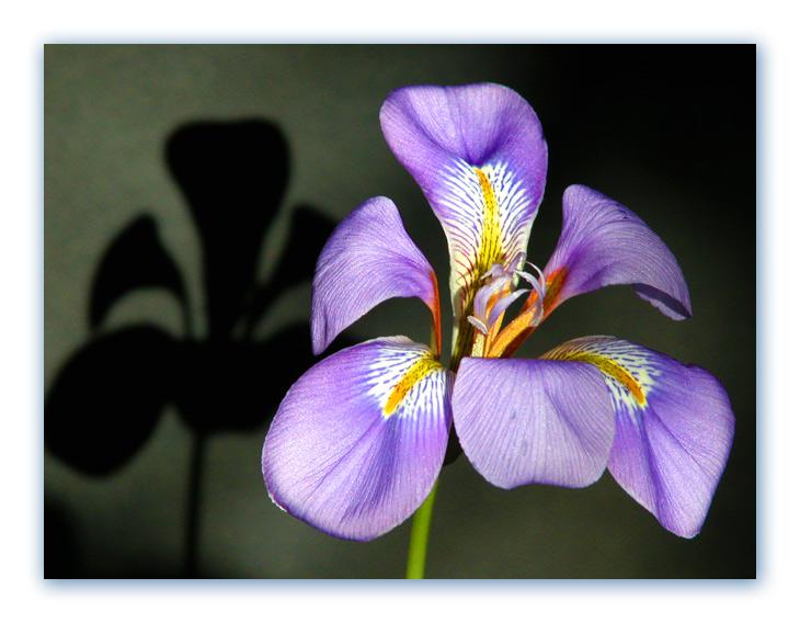 "фото ""Flower and the shade"" метки: природа, цветы"