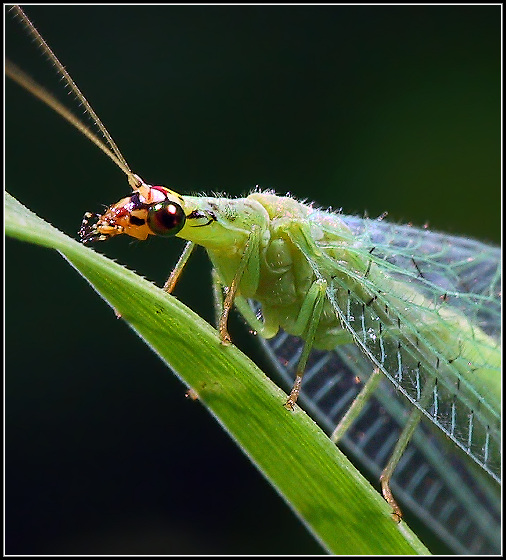 "photo ""Green Lacewing Portrait"" tags: nature, macro and close-up, insect"