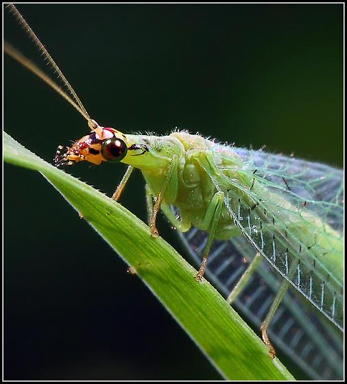"""фото """"Green Lacewing Portrait"""" метки: природа, макро и крупный план, насекомое"""