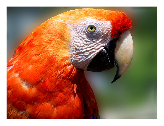 "photo ""Red macaw"" tags: nature, wild animals"