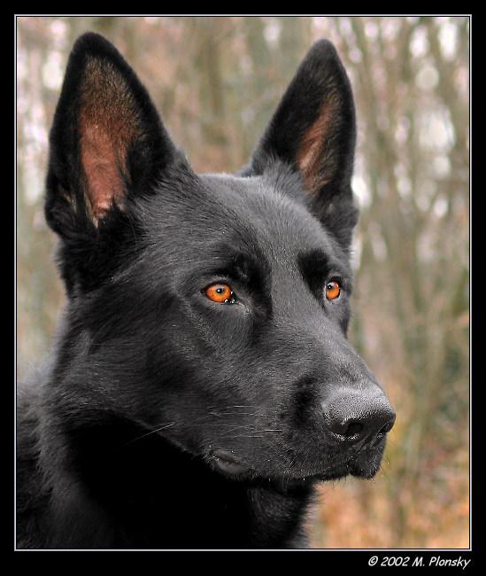 """photo """"Black GSD"""" tags: nature, portrait, pets/farm animals"""