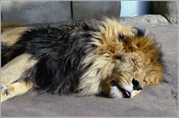 """photo """"Don`t wake up a sleeping cat"""" tags: nature, wild animals"""