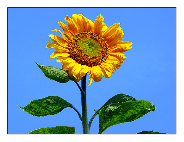 "photo ""Sunflower"" tags: nature, flowers"